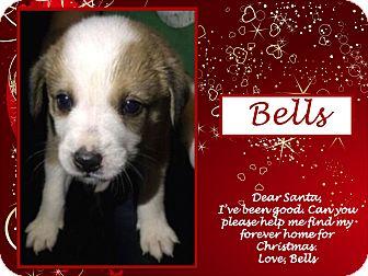 Australian Shepherd/Labrador Retriever Mix Puppy for adoption in Ringwood, New Jersey - Bells