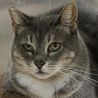 Adopt A Pet :: Grey Girl - North Branford, CT