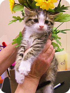 Domestic Mediumhair Kitten for adoption in Toledo, Ohio - Grumpy