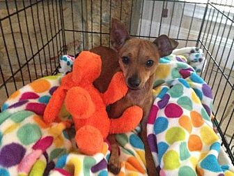 Chihuahua Dog for adoption in San Antonio, Texas - Rocky
