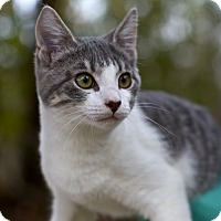 Domestic Mediumhair Kitten for adoption in Freeport, Florida - Freddie