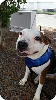 Beagle/Pit Bull Terrier Mix Dog for adoption in Sparks, Nevada - Lenny