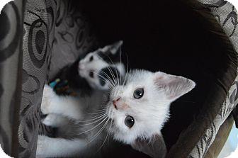 Domestic Shorthair Kitten for adoption in Brooklyn, New York - Elsa & Anna