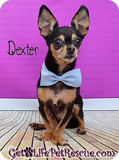 Chihuahua Dog for adoption in Wellington, Florida - Dexter