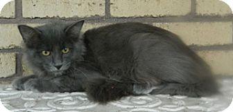 Domestic Mediumhair Cat for adoption in Columbus, Nebraska - Royal