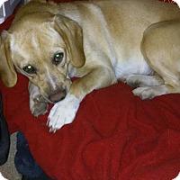 Adopt A Pet :: Chili - Little Rock, AR