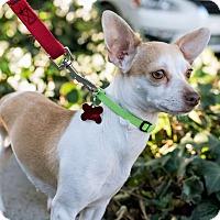 Adopt A Pet :: Lalo - Encino, CA