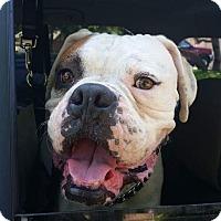 Boxer Dog for adoption in Austin, Texas - Seymour
