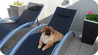 Pekingese Dog for adoption in Vaudreuil-Dorion, Quebec - Willie