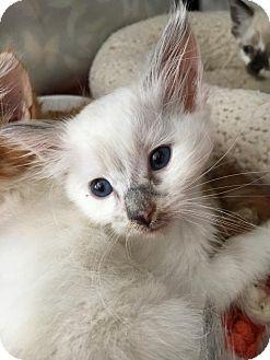 Ragdoll Kitten for adoption in Lakewood, California - IVORY