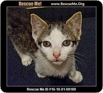 Domestic Shorthair Kitten for adoption in Waldorf, Maryland - Alice Cooper