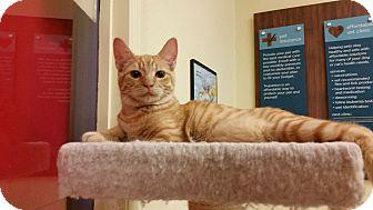 Domestic Shorthair Kitten for adoption in Phoenix, Arizona - Kristoff