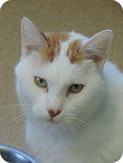 Domestic Shorthair Cat for adoption in Brookings, South Dakota - Morgan