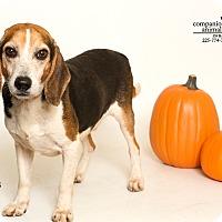 Beagle Dog for adoption in Baton Rouge, Louisiana - Ca$h
