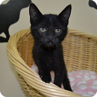 Domestic Shorthair Kitten for adoption in Wheaton, Illinois - Nicole