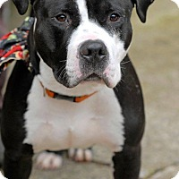 Adopt A Pet :: Gobbler - Pottsville, PA