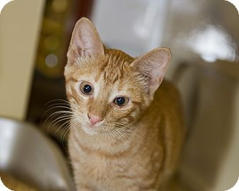 Domestic Shorthair Kitten for adoption in Farmingdale, New York - Odie