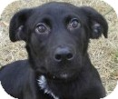 Labrador Retriever/Shepherd (Unknown Type) Mix Dog for adoption in Lincolnton, North Carolina - Lexi
