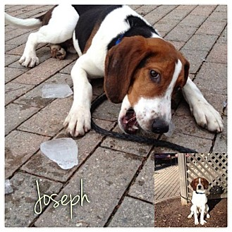 Treeing Walker Coonhound Puppy for adoption in Garden City, Michigan - Joseph