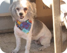 Shih Tzu/Poodle (Miniature) Mix Dog for adoption in Schertz, Texas - Puffy JH