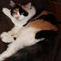 Calico Cat for adoption in Napa, California - GloGlo