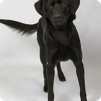 Labrador Retriever/Border Collie Mix Dog for adoption in Worland, Wyoming - Oakley