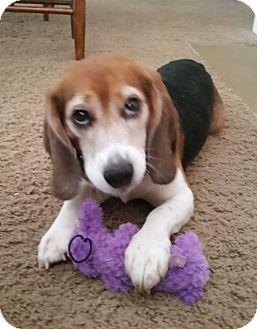 Beagle Dog for adoption in Round Lake Beach, Illinois - Dexter