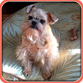 Brussels Griffon/Affenpinscher Mix Dog for adoption in Indianapolis, Indiana - INDIANA VOLUNTEERS NEEDED!