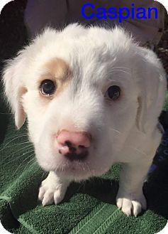 St. Bernard/American Bulldog Mix Puppy for adoption in Henderson, Nevada - Caspian