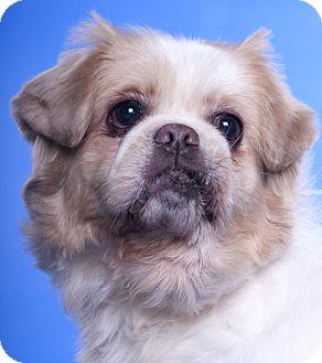 Pekingese Dog for adoption in Chicago, Illinois - Sunny