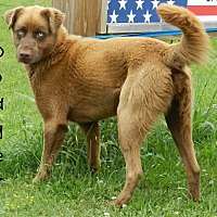 Labrador Retriever/Siberian Husky Mix Dog for adoption in Lawrenceburg, Tennessee - Dodger
