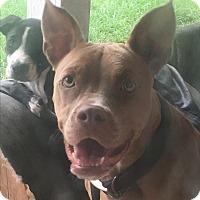 Adopt A Pet :: Dottie - Waggaman, LA