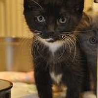 Domestic Mediumhair Kitten for adoption in Pompano Beach, Florida - Coco Puff