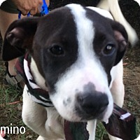 Terrier (Unknown Type, Medium)/Labrador Retriever Mix Puppy for adoption in Trenton, New Jersey - Domino