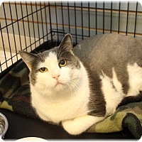 Domestic Shorthair Cat for adoption in Welland, Ontario - Kiki