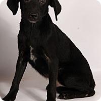 Adopt A Pet :: Chipper Lab Aussie - St. Louis, MO