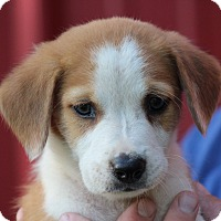 Adopt A Pet :: Puppet - Glastonbury, CT