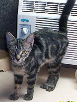 Domestic Shorthair Kitten for adoption in Morriston, Florida - CADEN