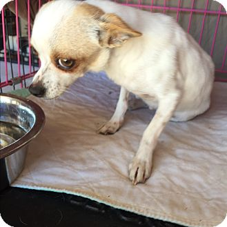 Chihuahua Dog for adoption in Blanchard, Oklahoma - Candie