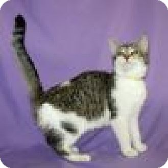 Domestic Shorthair Cat for adoption in Powell, Ohio - Darla