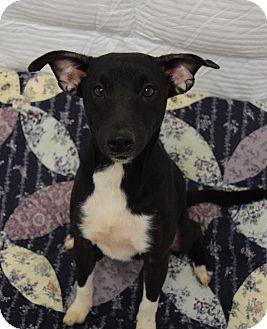 Rat Terrier/Beagle Mix Dog for adoption in Lisbon, Ohio - Jason