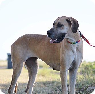Great Dane Dog for adoption in Lubbock, Texas - Paislee