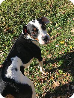 Beagle/Boxer Mix Dog for adoption in Round Lake Beach, Illinois - S'more