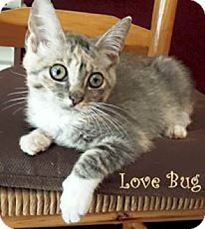 Domestic Shorthair Kitten for adoption in Monterey, Virginia - Lovebug $35 adoption
