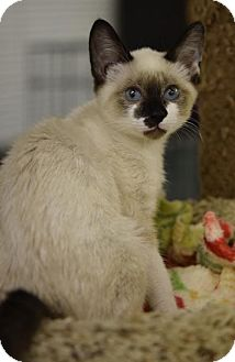 Snowshoe Cat for adoption in DFW Metroplex, Texas - Trinket