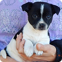 Terrier (Unknown Type, Small)/Australian Shepherd Mix Puppy for adoption in Burlington, Vermont - Duffy (3 lb) Video!