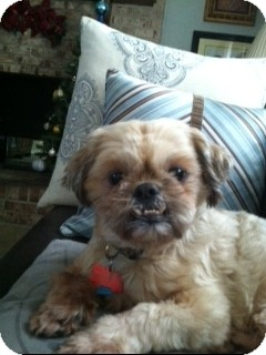 Shih Tzu Mix Dog for adoption in Richmond, Virginia - Paddington