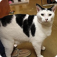 Domestic Shorthair Cat for adoption in Smyrna, Georgia - Jack