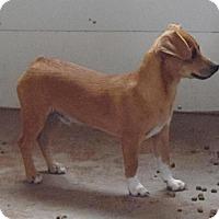 Adopt A Pet :: Sox - Post, TX