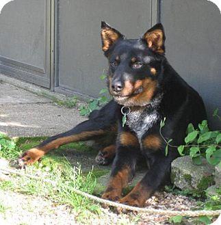 Australian Kelpie Dog for adoption in Lone Oak, Texas - Tater